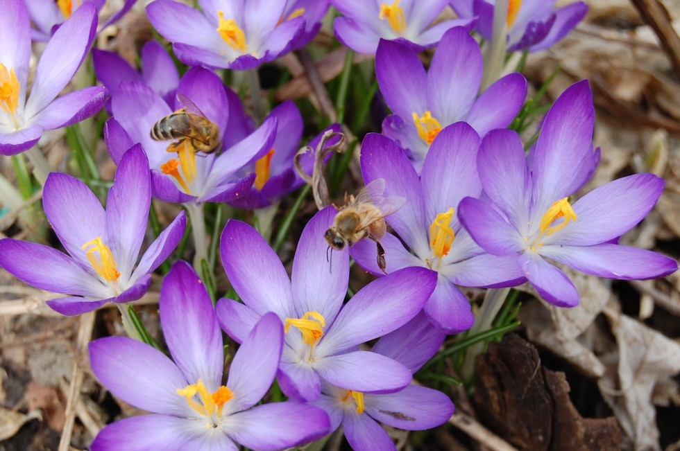 2014-04-06 13.17.59 crocus tommasinianus with bees