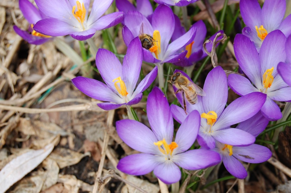 2014-04-06 13.18.03 crocus tommasinianus with bees