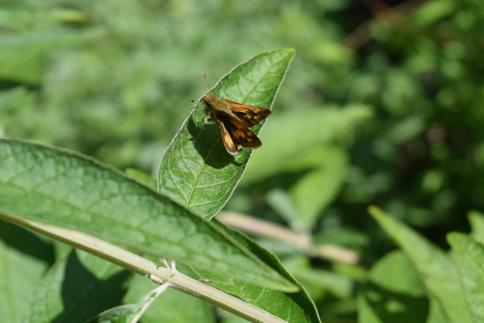 Skipper on Butterfly Bush leaf.
