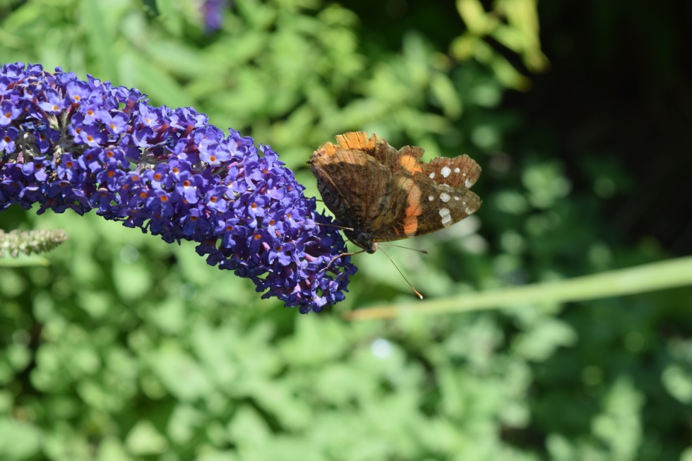Skipper on Butterfly Bush foliage.