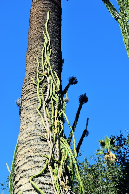 Did you know there were cacti that should climb?