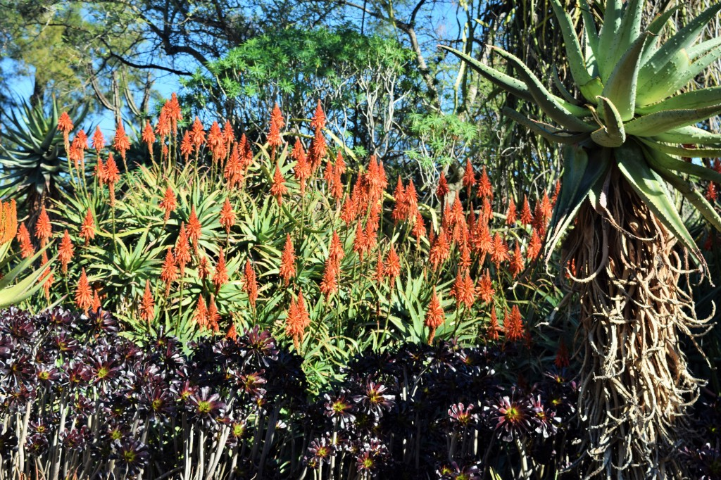 Flowering Aloe behind a stand of Aeonium.