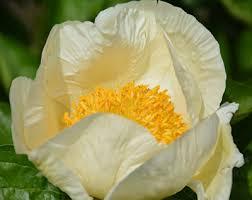 'Pearled Lemon Cream'. Photo from Songsparrow.com.