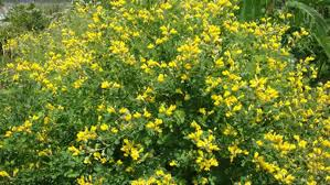 Yellow Wild Indigo. Photo from Prairie Moon Nursery.