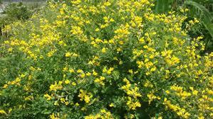 Yellow Wild Indigo. Photo from Prairie Moon Nursery.