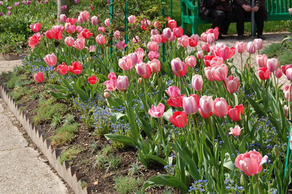 Pink tulips underplanted with forget-me-nots at Giverny.