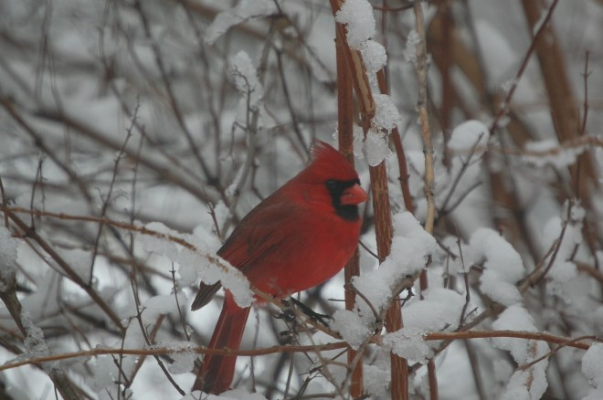 Male Northern Cardinal.