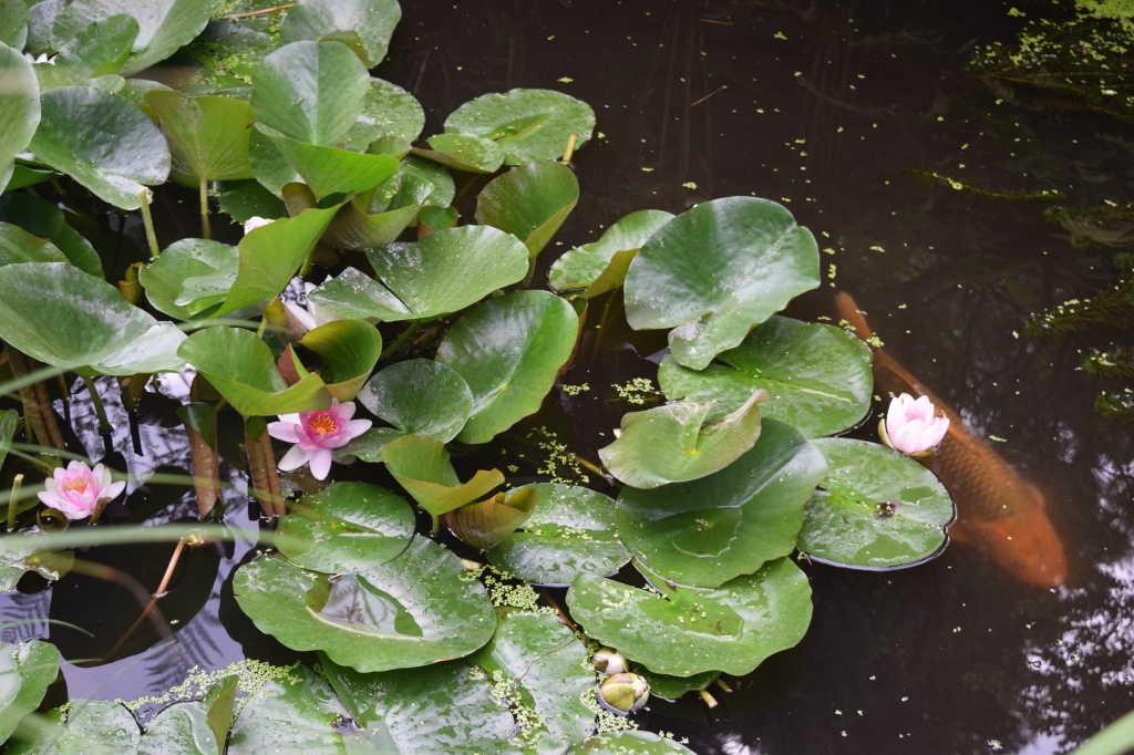 Nice little pond with waterlilies and koi.