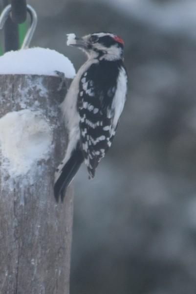 Male Downy Woodpecker with a beak full of suet.