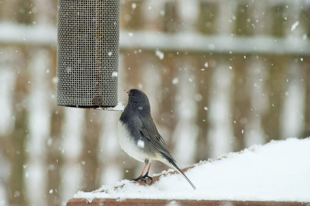 Another Dark-Eyed Junco.