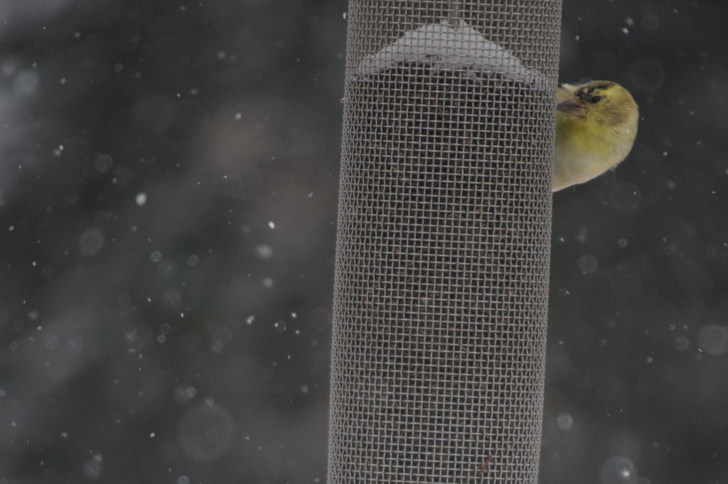 American Goldfinch at the nyjer seed feeder: is the coast clear?