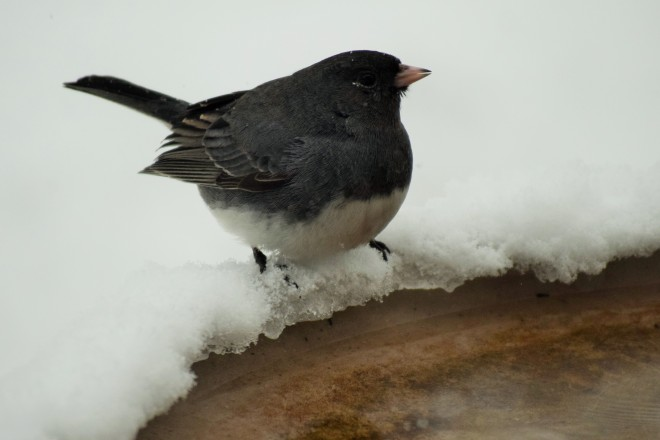 Dark-Eyed Junco.