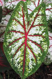 Caladium 'Celebration'. Photo from Brent and Becky's Bulbs.