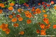 'Copper Pot' California Poppies. Photo from Reneesgarden.com.