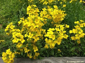 'Scented Gold' Wallflower. Photo from Reneesgarden.com.