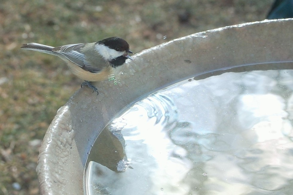 Chickadee at the bird bath.