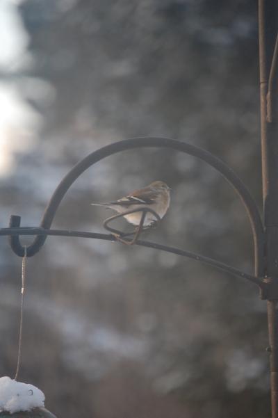 Male American Goldfinch in winter.