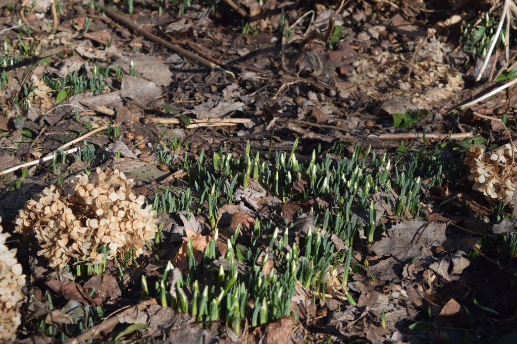 These Snowdrops still need a day or two before they bloom.
