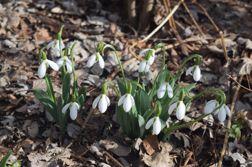 A clump of Snowdrops in bloom.