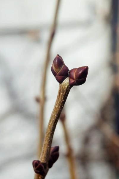 Lilac buds.
