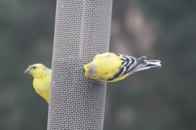 American Goldfinches at the nyjer feeder.