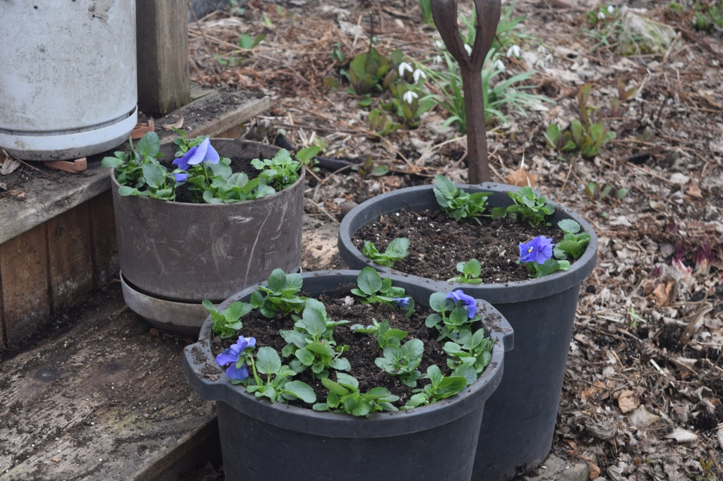 Filling used shrub containers (5 gallon, I think) with pansies.