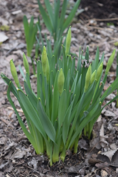 Narcissi in bud.