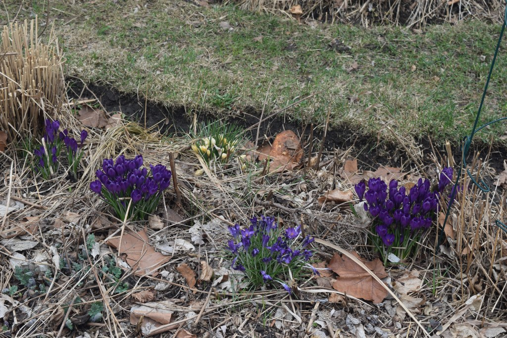Crocuses in the sidewalk border.