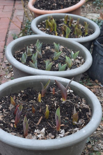 My container tulips. So exciting! I just wish I had remembered to write down which varieties were planted together in which pots.