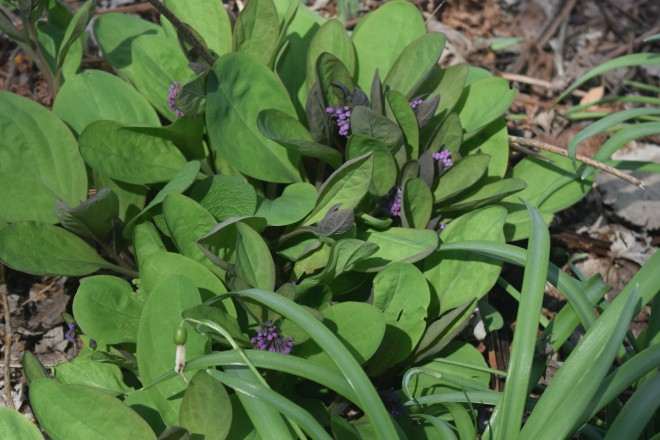 Virginia Bluebells - the little flower buds are visible already.