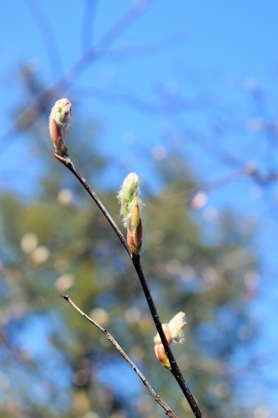 Serviceberry flower buds.