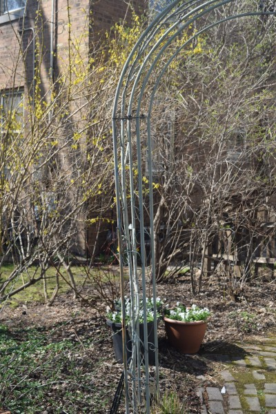 Forsythia in the back garden by the arbor.
