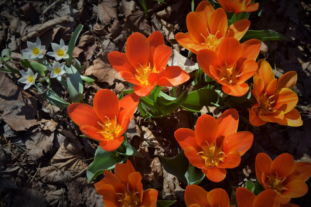 Tulipa turkestanica in the upper left with 'Early Harvest'.
