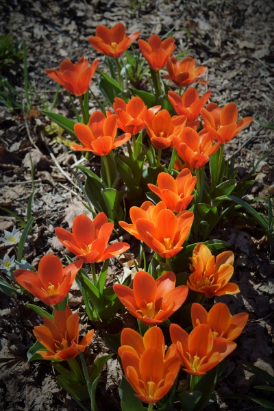 Tulip 'Early Harvest' in the Left Bank Border.