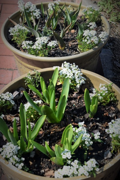 Sweet Alyssum newly planted in the Tulip and Hyacinth pots.