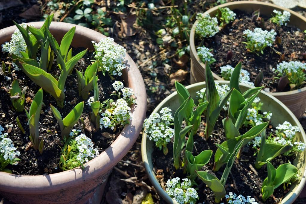 2015-04-11 15.22.02 sweet alyssum in  tulip pots