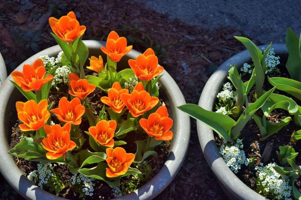 Tulip 'Early Harvest' in container.