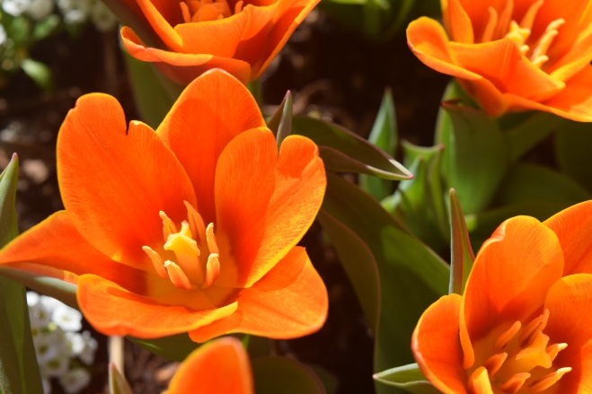 Tulip 'Early Harvest' close up.