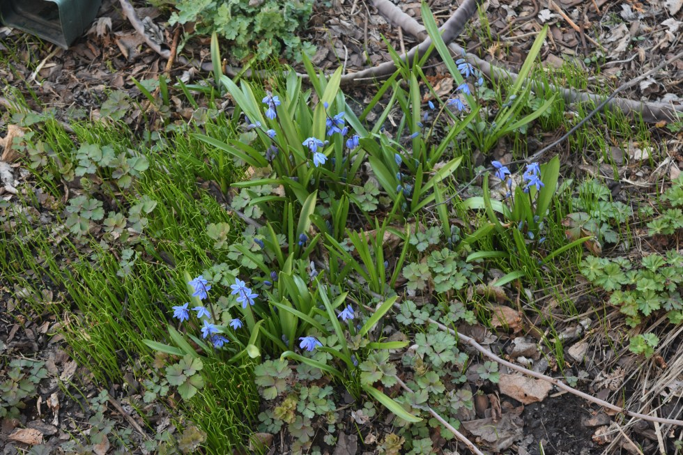 Siberian Squill flowers, baby squill, and Wild Columbine.