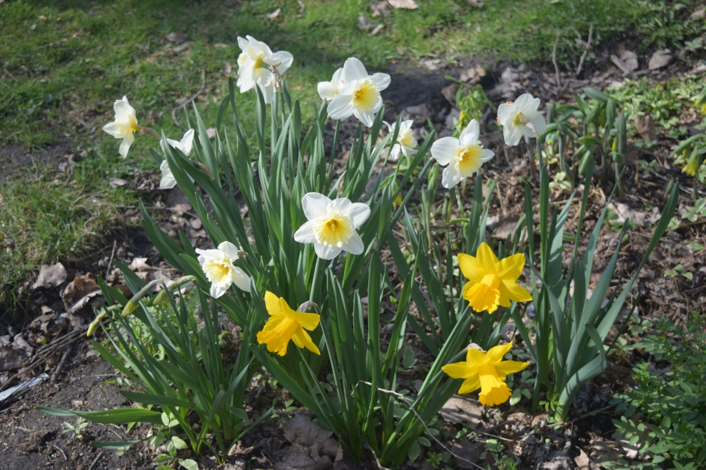 Narcissus 'King Alfred' and 'Ice Follies'