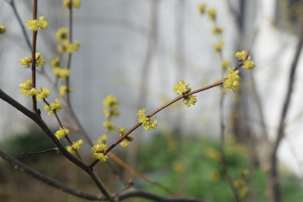 And even more Spicebush flowers.