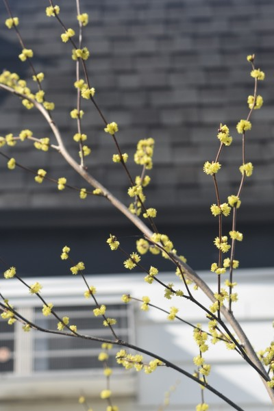 More Spicebush flowers.
