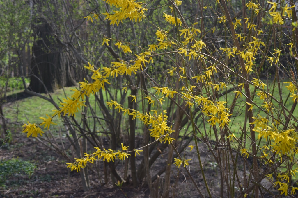Our depressed Forsythia