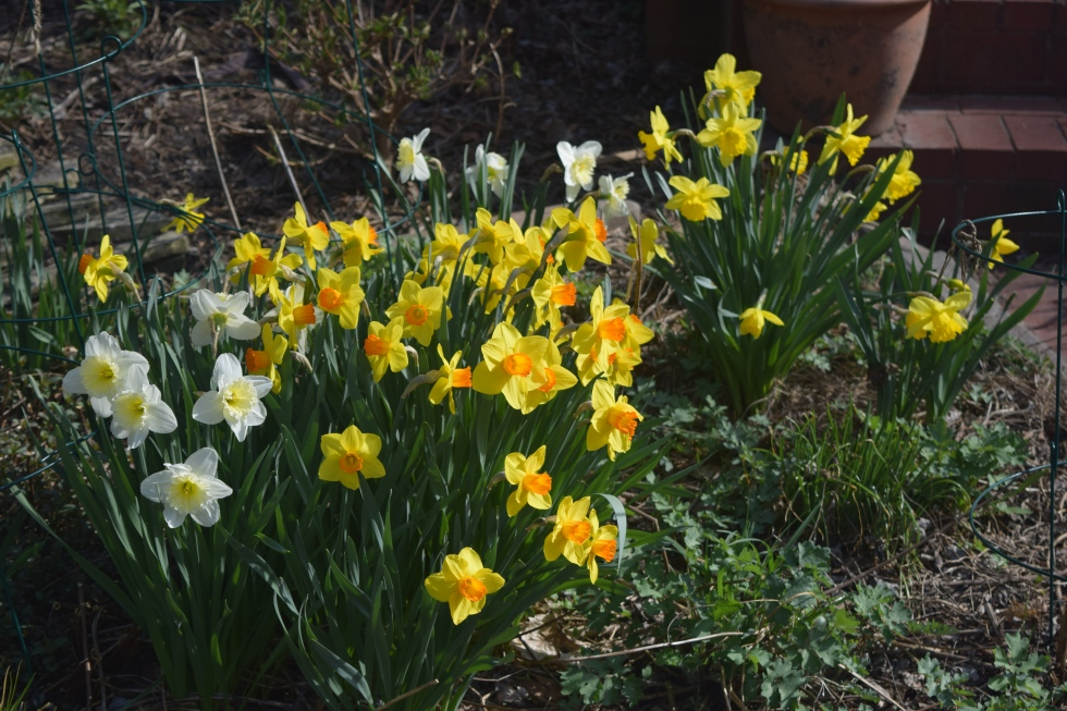 Narcissus 'Delibes' and 'Ice Follies'