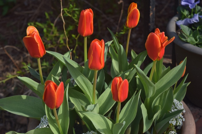 Tulip 'Early Harvest'