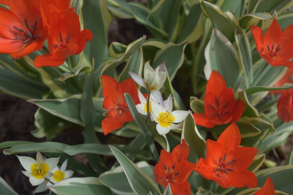 T. praestans 'Unicum' (red) with T. turkestanica