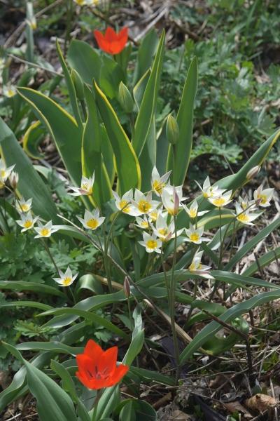 2015-04-19 11.45.27 tulips