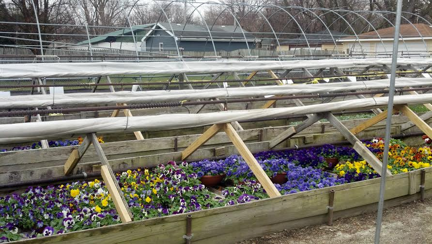 More Violas in cold frames.