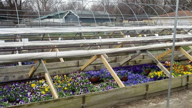 More Violas in cold frames.