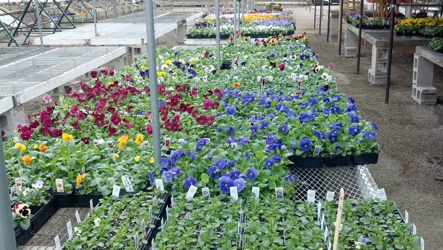 Violas on display at Anton's.